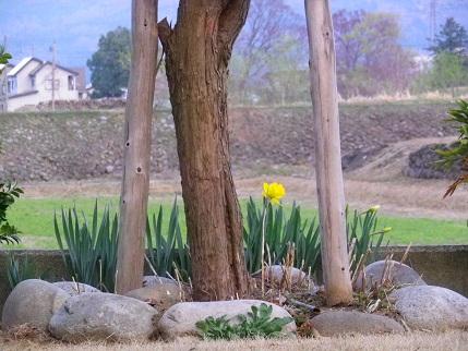 桜の幹と水仙の花.jpg